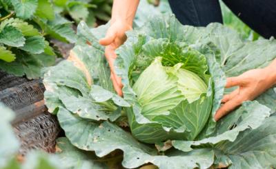 Couve: como preparar e quais são os benefícios?   Blog Nutrify